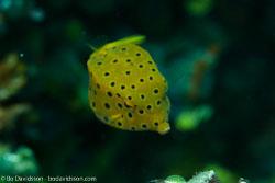 BD-161101-Pura-4439-Ostracion-cubicus.-Linnaeus.-1758-[Yellow-boxfish].jpg